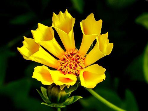 geltona,gėlė,geltona gėlė,kūgio gėlė,saulės šviesa,radiacija,saulės spinduliai,Kanados laukiniai gėlių,saulės spindulys,saulės spinduliai,žvaigždė,ray,smailas,šiluma,saulės spindulių,spindulys,vasara
