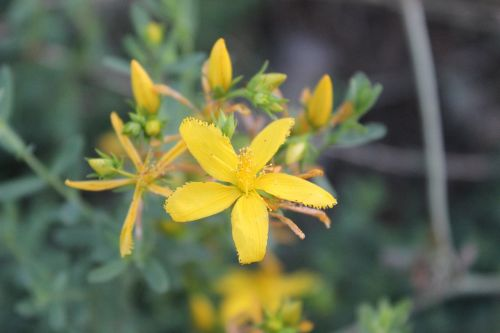 geltona,gėlė,kocaeli