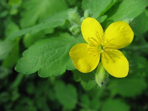 geltona, žiedas, žydi, gėlė, pobūdį, augalų, lapų, vasara, žydi, graži gėlė, floros, vasara augalas, vasaros gėlės