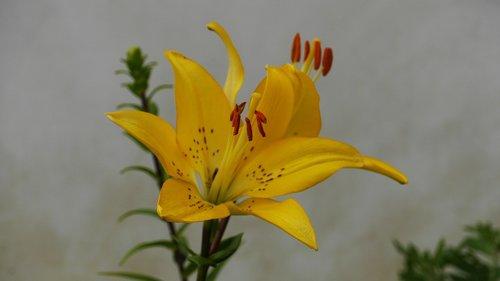 geltona, augalai, pobūdį, lapų, vasara, Iš pobūdį, Korėja, Šis tipas, gėlės, Žiedlapis, gražus