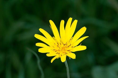 geltona, saulė, saulėgrąžų, pobūdį, vasara, žydi, spalvinga, saulės, sezonas, žiedas, spalva, Sodas, gėlė, floros, šviesus, žydi, šviežias, gėlių