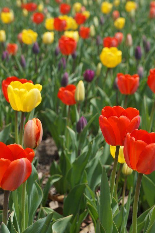 geltona,raudona,violetinė,tulpės,pavasaris,laukas tulpių