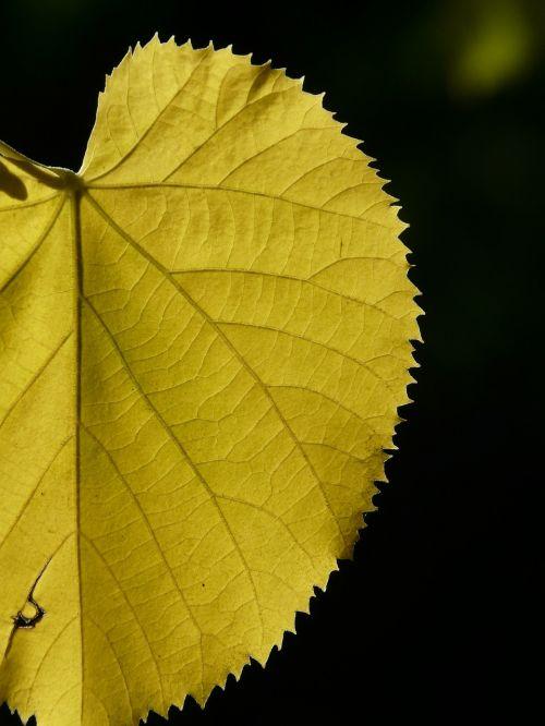 geltona,dažymas,kritimo spalva,lipovina,lapai,linda,šviesa,šešėlis,sommerlindenbatt,kalkės,tilia platyphyllos,vasaros liūtys,eurybia linde,lapuočių medis,tilia,Mallow,malvaceae,akmens kalkės,Citrinmedis