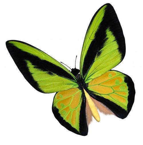 geltona & nbsp, birdwing & nbsp, drugelis, geltona & nbsp, drugelis, gamta, drugelis & nbsp, drugelis & nbsp, poser, drugelis & nbsp, vamzdelis, vabzdys, laukinė gamta, drugelis & nbsp, birdwing, birdwing & nbsp, geltona & nbsp, drugelis, geltona birdwing drugelis