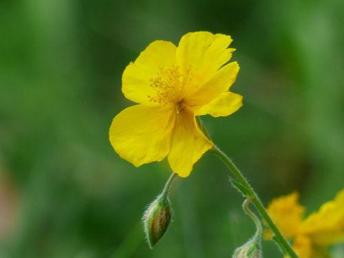 geltona ruda,gėlė,žiedas,žydėti,geltona,helianthemum nummularium,paprasta ruda,bjaurus rudas,ruda,saulės spinduliai,roko rožių augalas,cistaceae,laukinė gėlė,gamta