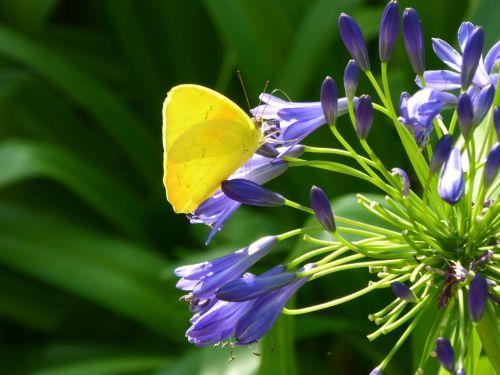 drugelis, drugeliai, geltona & nbsp, drugelis, geltona, gėlės, violetinė, pavasaris, klaidas, vabzdžiai, auksinis, geltona drugelis ant purpurinių gėlių
