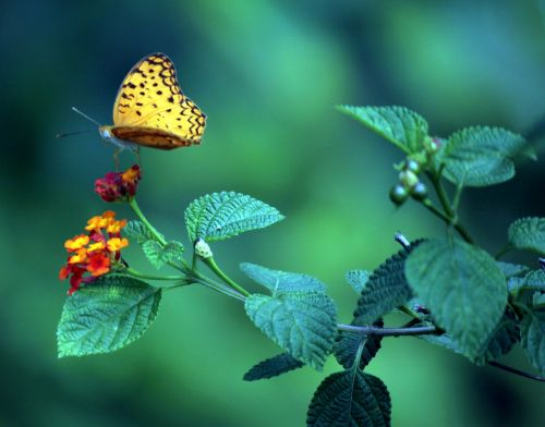 geltona & nbsp, drugelis & nbsp, gėlė, vyšnia, palikti, geltona drugelis ant gėlės
