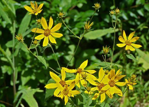 geltona kompozicija,geltona,geltona ramunė,wildflower,vasara,žiedas,budas,žydėti,augalas,gamta