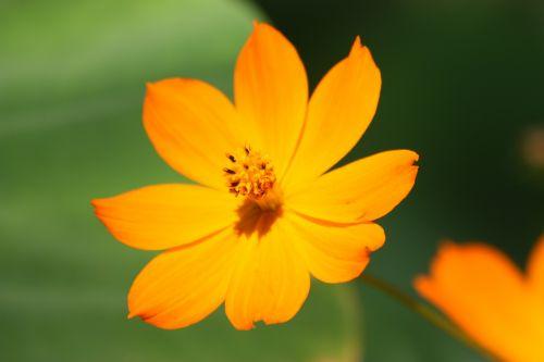 gamta, gėlės, coreopsis, geltona, geltona & nbsp, gėlė, vasara, žiedlapiai, žydėti, žydi, žalias & nbsp, fonas, geltonas kortosas vasarą