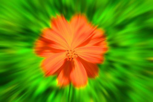 Gėlė,  Oranžinė,  Geltona,  Kosmosas,  Geltonas Kosmosas Priartinti