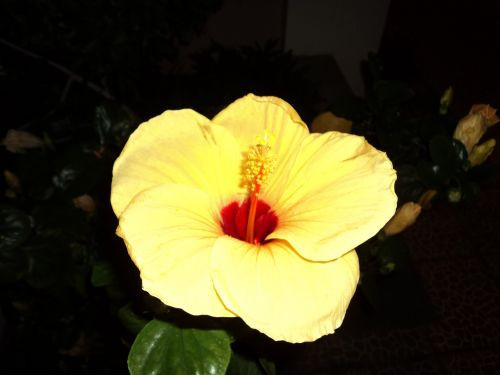 geltona, gėlės, lapai, augalai, žiedlapiai, žiedadulkės, geltona gėlė