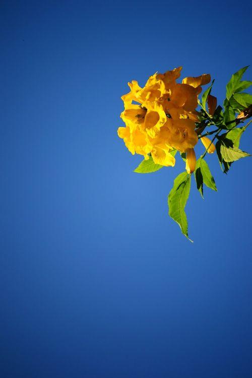 geltona gėlė,žiedas,mėlynas dangus,augalas,Šri Lanka,Mawanella,ceilonas