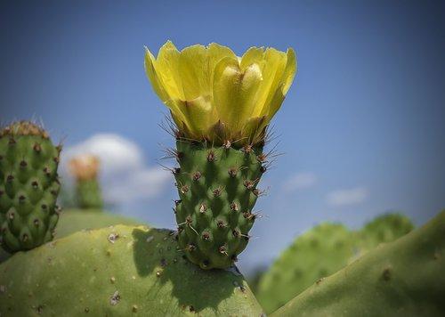geltona gėlė, Gėlių higo chumbo, dygliuotas kriaušių kaktusas, žydėjimo, žiedlapiai, gėlė, kaktusas