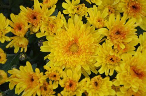 geltonos gėlės,geltonos chrizantemos,gėlės gamta,didelis puodas,pasiūlymas,žiedlapiai,gamta,gėlės,gėlės krinta,augalas,žydėjimas,flora,botanika,toussaint,chrizantema