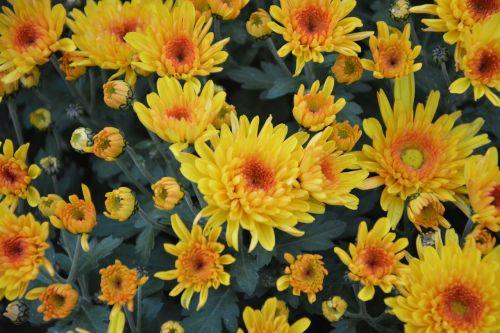 geltonos gėlės,geltonos chrizantemos,gėlės gamta,didelis puodas,pasiūlymas,žiedlapiai,gamta,gėlės,gėlės krinta,augalas,žydėjimas,flora,botanika,toussaint,botanikos flora,laukas