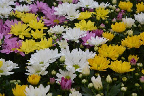 geltonos gėlės rožės,balta,geltonos chrizantemos,gėlės gamta,didelis puodas,pasiūlymas,žiedlapiai,gamta,gėlės,gėlės krinta,augalas,žydėjimas,flora,botanika,botanikos flora,purpurinės gėlės