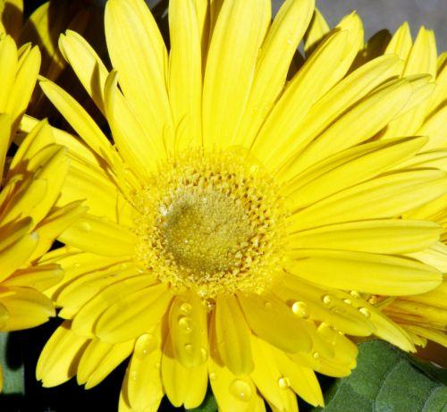 gamta, augalai, gėlės, flora, geltona & nbsp, gėlė, Daisy, Gerber & nbsp, Daisy, Gerbera & nbsp, Daisy, geltona & gerbė & nbsp, daisy, Iš arti, makro, geltonos spalvos & nbsp, žiedlapiai, gėlių & nbsp, žiedlapių, geltona gerberio daisy makro