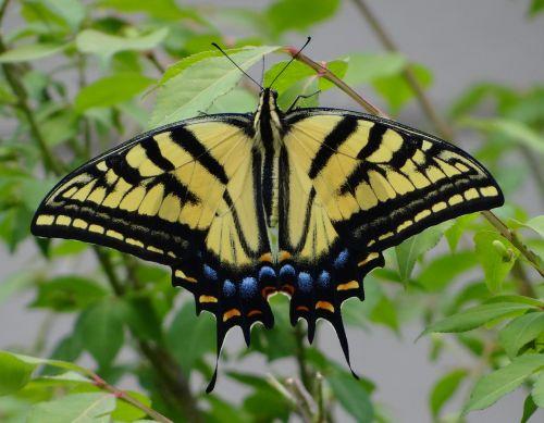 geltonas monarchas,drugelis,monarchas
