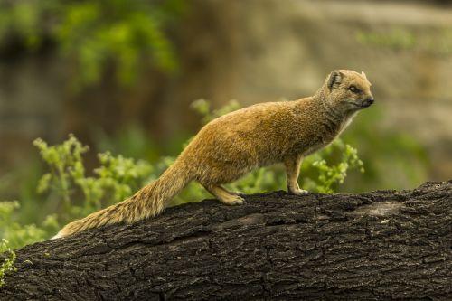 geltona mongoze,raudona meerkat,mielas,zoologijos sodas,Mangoze,žinduolis,meerkat,afrika,gamta,laukiniai,gyvūnas,laukinė gamta,į pietus,natūralus,fauna,mėsėdis,susirūpinęs,pūkuotas,apsauga,dėmesio,atrodo,kailis