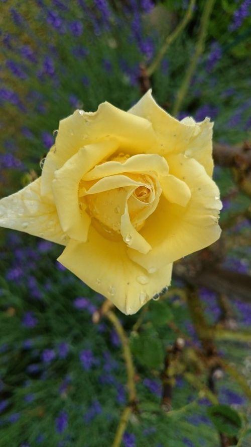 geltona rožė,sodas,Uždaryti,vasara,liūtys,uždaryti vasaros sodą