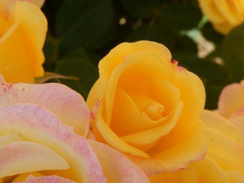 geltona, rožė, gėlė, rožinis, žalias, vasara, žiedlapis, budas, geltona rožinis rožinis kraštas