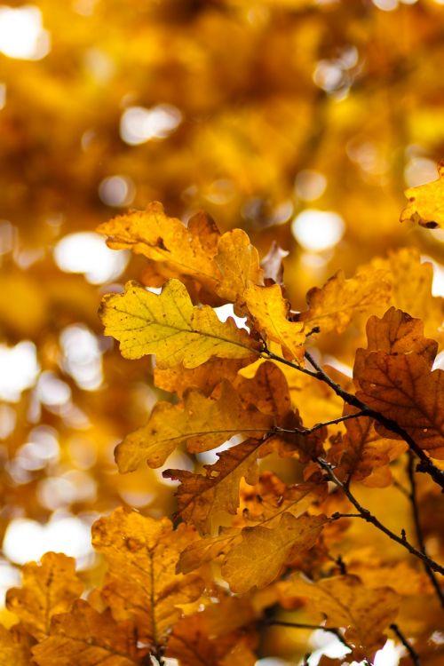 geltonas lapas,ruduo,ąžuolo,ąžuolo lapas,listopad,geltonieji lapai,aukso ruduo,lapai,rudens lapas,rudens lapai,kritimo spalvos,medis,rytas ruduo,lakštas,auksinis,geltona,geltonas lapas,gamta,september,rudens gamta