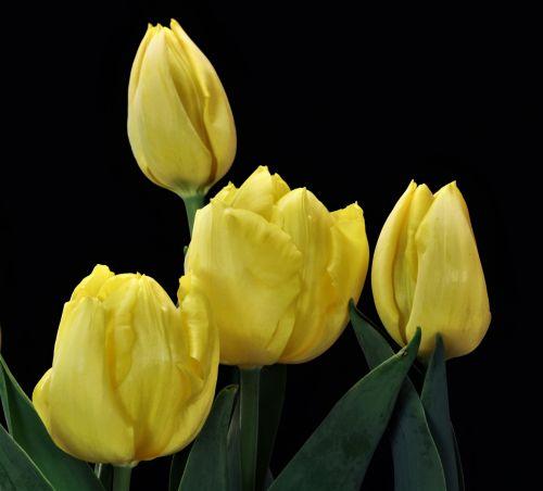 Iš arti, keturi, gamta, augalai, gėlės, pavasaris & nbsp, gėlės, tulpės, geltonos tulpės, keturi tulpės, izoliuotas, juodas & nbsp, fonas, svogūnėliai, geltonos tulpės juodos spalvos