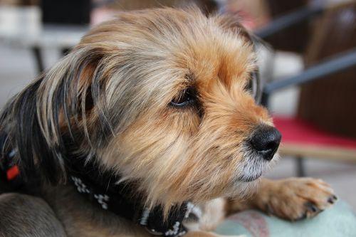 Jorkšyro terjeras,šuo,naminis gyvūnėlis,mažas šuo,Lapo šuo,kailis,portretas,grynaveislis šuo