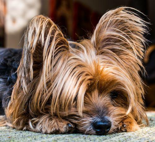 Jorkšyro terjeras,šuo,mažas,mielas,naminis gyvūnėlis,galva