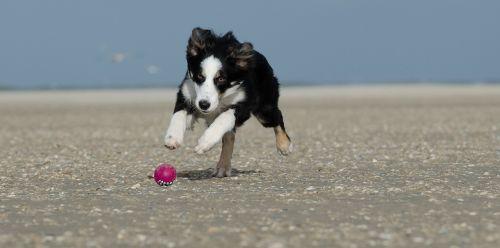 jaunasis sieninis koleivis,šuo paplūdimyje,vasara,su rutuliu,rutulinis medžioklės šuo,šuo eina po rutulio,jaunas šuo,naminis gyvūnėlis,Baltijos jūra,papludimys,jūra,gyvūnai,smėlis