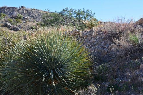 yucca,dykuma,augalas,kraštovaizdis,dykuma,peizažas,natūralus,laukiniai,lauke,aplinka,vaizdingas,žemė,gamta