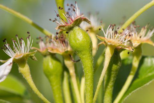 kriaušė, pumpurai, augimas, vaisių sodas, medis, vaisiai, kriaušės pumpurai