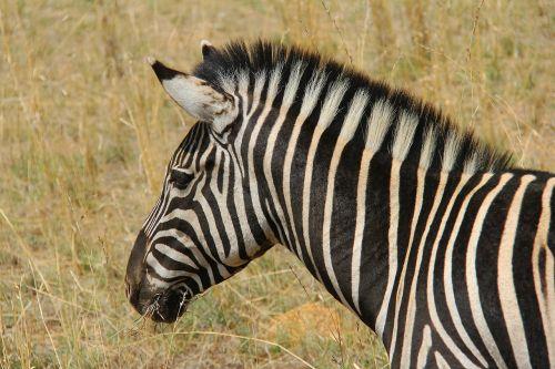 zebra,įdomus,nuotykis,safari,vaizdingas,gražus,įdomus,saulės miestas,Pilanesbergo žaidimų rezervas,Johanesburgas,pietų Afrika