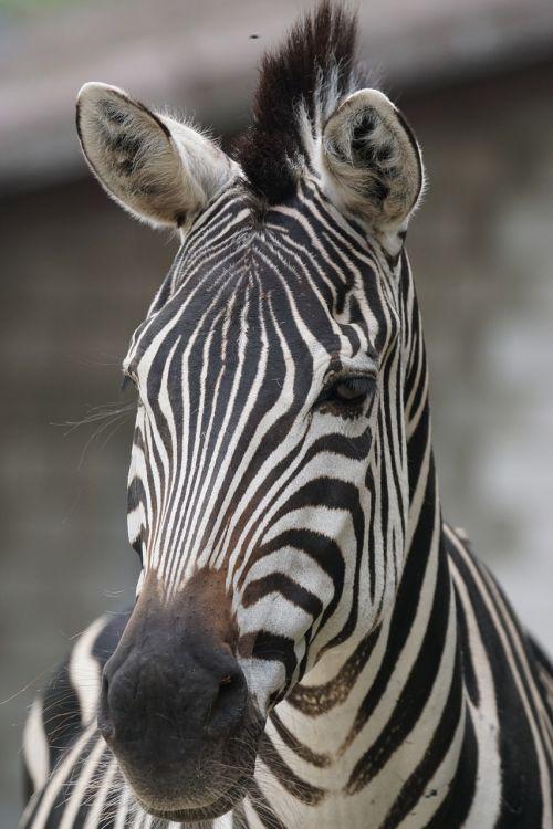 zebra,afrika,dryžuotas