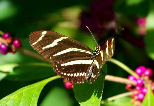 zebra ilgas drugelis,vabzdys,sparnai,skraidantis,klaida,juodi sparnai