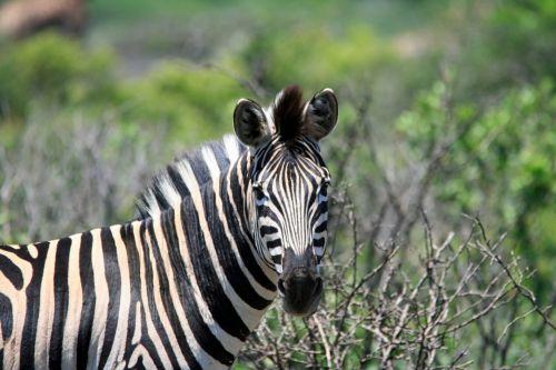 gyvūnas, zebra, žiūri, tiesiogiai, žebras žiūri į tave 1
