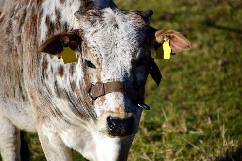 Zebu,jautiena,karvė,ganomi gyvuliai,kiaušiniai,galva,ragai,ganyklos požiūris,laisvas asortimentas,gyvuliai,atrajotojas,gyvūnas,Žemdirbystė,laisvoji rite,berniukas,gyvulininkystė,jaunas gyvūnas,laukinės gamtos fotografija