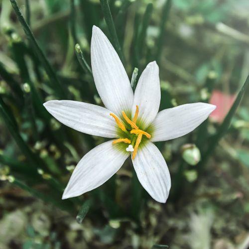 zephyranthes candida,balta,maža gėlė,sodo augalai,dekoratyviniai augalai,gėlė,ruduo,vaistiniai augalai