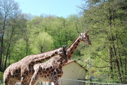 zoologijos sodas,žirafos,gyvūnas,žinduolis,kaklas,afrika,retikuliuotas žirafas,pastebėtas,laukinis gyvūnas,ilgai