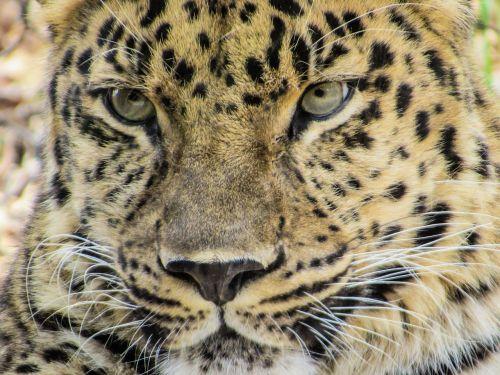 zoologijos sodas gyvūnas,zoologijos sodas,leopardas,katė