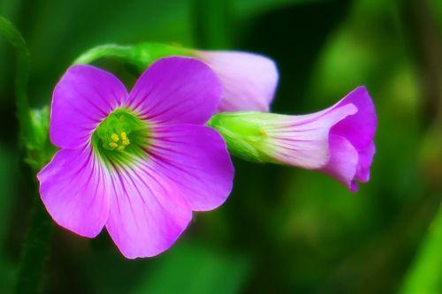 zuo jiang žolė,laukinės gėlės,natūralus,augalas,žolė,acto žolės žolė,gėlė,kraštovaizdis,gamtos peizažai,violetinė,žalias,geltona,gamta,ekologija,spalva,綻,žydėti,parkas,keturi metų laikai,gražus uostas,gerai