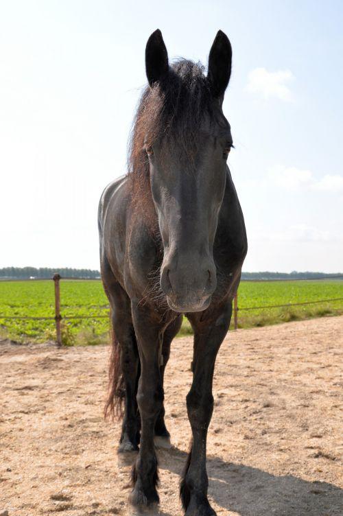 arklys, ganykla, ganymas, ūkis, gyvūnas, linksmas, juoda, juodas linksmas
