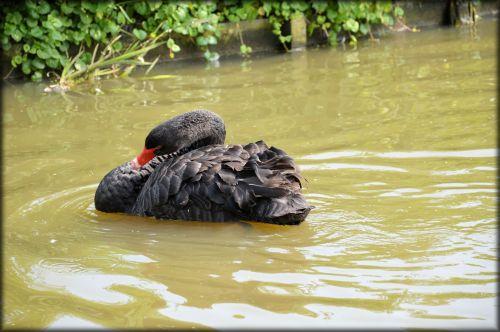 e-kortelė, vanduo, gulbė, juoda, baletas, gamta, gyvūnas, serijos, vandens & nbsp, šokis, juodos gulbės serijos 1 vandens baletas 8